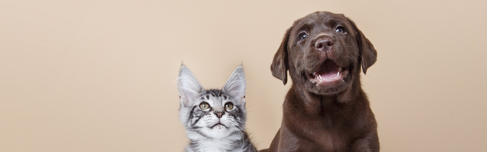 Black and white cat sitting next to chocolate lab